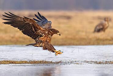Young white-tailed eagle (Haliaeetus albicilla) landing at the edge of a lake, Kutno, Poland, Europe