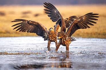 Young white-tailed eagle (Haliaeetus albicilla) in winter with upraised wings on the shore of a lake, Kutno, Poland, Europe