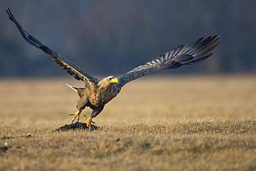 Soaring adult white-tailed eagle (Haliaeetus albicilla) in winter, Kutno, Poland, Europe