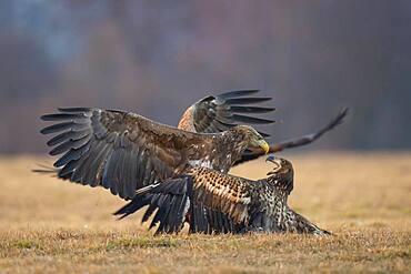Two contending white-tailed eagles (Haliaeetus albicilla), Kutno, Poland, Europe - 832-391159