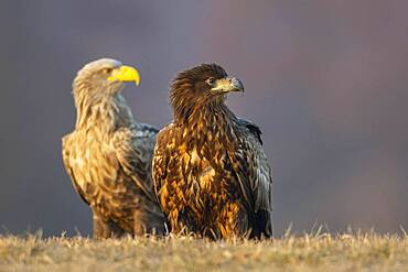 Old and young bird of a white-tailed eagle (Haliaeetus albicilla), Kutno, Poland, Europe