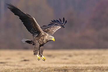 Old white-tailed eagle (Haliaeetus albicilla) in flight, Kutno, Poland, Europe