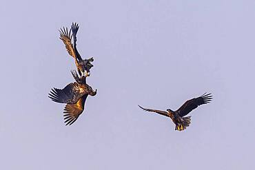 Young white-tailed eagles (Haliaeetus albicilla) fighting for prey in flight, winter, Kutno, Poland, Europe