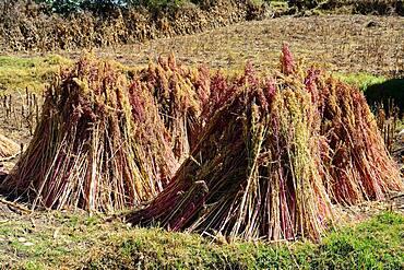 Quinoa (Chenopodium quinoa) bundled for drying, Andahuaylas Province, Peru, South America