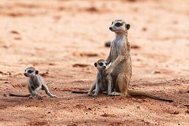 Meerkats (Suricata suricatta), adults and young Bagatelle Game Ranch, Hardap Region, Kalahari, Namibia, Africa