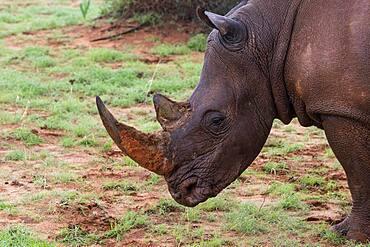 White rhinoceros (Ceratotherium simum) Hardap Region, Kalahari, Namibia, Africa