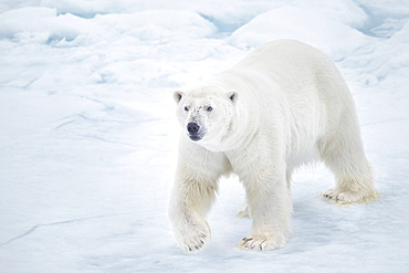 Polar bear (Ursus maritimus) walking on pack ice, Arctic, Spitsbergen, Svalbard