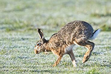 European hare (Lepus europaeus), Emsland, Lower Saxony, Germany, Europe