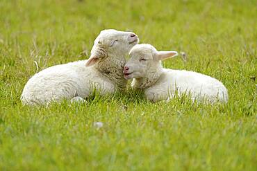 Forest sheep, two lambs lying on a pasture, Germany, Europe