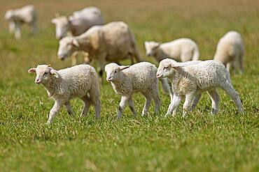 Forest sheep, flock of sheep, lambs on a pasture, Germany, Europe
