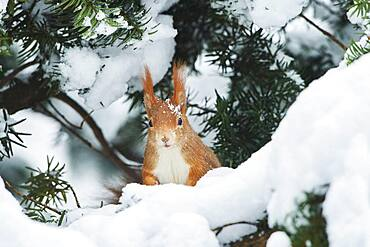 Eurasian red squirrel (Sciurus vulgaris) in the snow, Bavaria, Germany, Europe