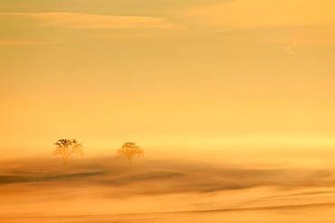 Apple trees (Malus), fog, snow, sunrise, winter, Kreenheinstetten, Leibertingen, Upper Danube nature park Park, Baden-Wuerttember, Germany, Europe