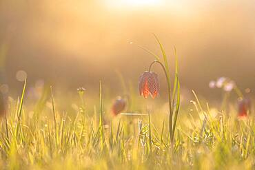 Chess flower, also called checkerboard flower (Fritillaria meleagris) in a wet meadow, sunset, Doubs nature park Park, Les Brenets, Canton Neuchatel, Switzerland, Europe