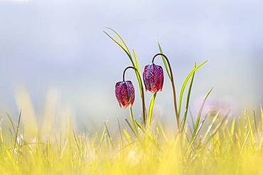 Chess flower, also known as checkerboard flower (Fritillaria meleagris) in a wet meadow, Doubs nature park Park, Les Brenets, Canton Neuchatel, Switzerland, Europe