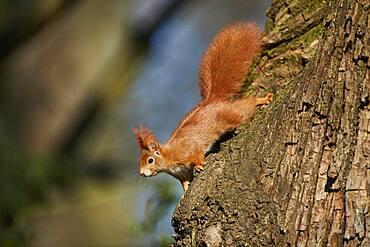 Eurasian red squirrel (Sciurus vulgaris), Bavaria, Germany, Europe