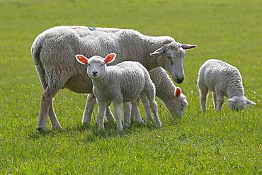 Domestic sheep (Ovis gmelini aries) with lambs, animal children, Schleswig-Holstein, Germany, Europe