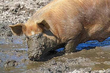 Duroc pig, old domestic breed from the USA, Eggen-Hof, Vomp, Tyrol, Austria, Europe