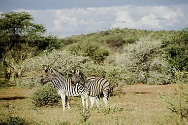 Burchell's zebras (Equus quagga burchellii), Namibia, Africa