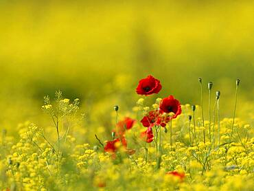 Poppy flowers (Papaver rhoeas) between yellow flowers, Lower Rhine, North Rhine-Westphalia, Germany, Europe