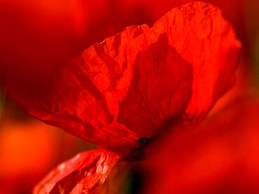 Poppy flowers (Papaver rhoeas), Lower Rhine, North Rhine-Westphalia, Germany, Europe