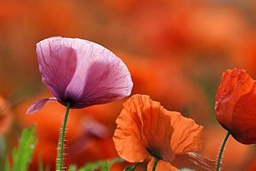 Pink and red poppy (Papaver rhoeas), Lower Rhine, North Rhine-Westphalia, Germany, Europe