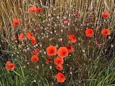 Poppy flowers (Papaver rhoeas) at the edge of a corn field, Lower Rhine, North Rhine-Westphalia, Germany, Europe