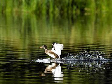 Female gadwall (Anas strepera) landing on water, Rheinberg, Lower Rhine, North Rhine-Westphalia
