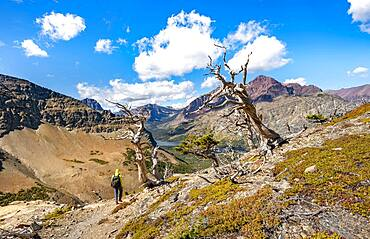 Hiker between dead trees, hiking trail to Scenic Point, view of Two Medicine Lake, mountain peaks Rising Wolf Mountain and Sinopah Mountain, Glacier National Park, Montana, USA, North America