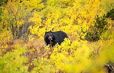 American Black Bear (Ursus americanus) among autumn colored bushes, Glacier National Park, Montana, USA, North America