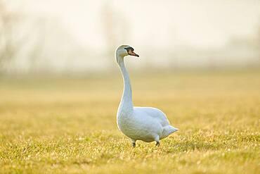 Mute swan (Cygnus olor), standing on a meadow, Bavaria, Germany, Europe