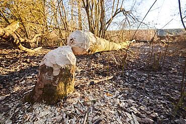 Beaver bite (Castor fiber), fallen tree, Upper Palatinate, Bavaria, Germany, Europe