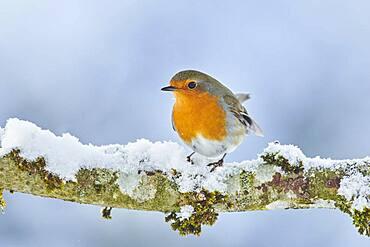 European robin (Erithacus rubecula) sitting on a branch, Bavaria, Germany, Europe