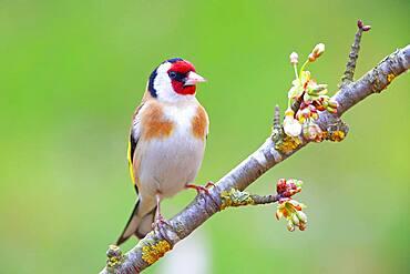 European goldfinch (Carduelis carduelis), Solms, Hesse