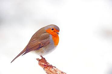 European robin (Erithacus rubecula), Solms, Hesse