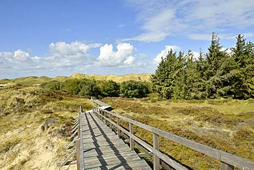 Boardwalk and conifers in the dunes, Norddorf, Amrum, North Frisian Island, North Frisia, Schleswig-Holstein, Germany, Europe