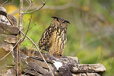 Eurasian eagle-owl (Bubo bubo) sitting on a wall, wildlife, Black Forest, Baden-Wuerttemberg, Germany, Europe
