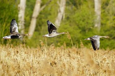 Greylag geese (Anser anser) flying, Germany, Europe