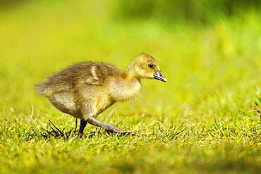 Greylag goose (Anser anser) chicks in a meadow, Germany, Europe