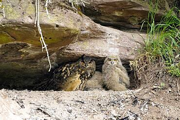 Eurasian eagle-owl (Bubo bubo) chicks sitting in a crevice, wildlife, Black Forest, Baden-Wuerttemberg, Germany, Europe