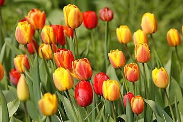 Tulips bloom, Weinheim, Baden-Wuerttemberg, Germany, Europe
