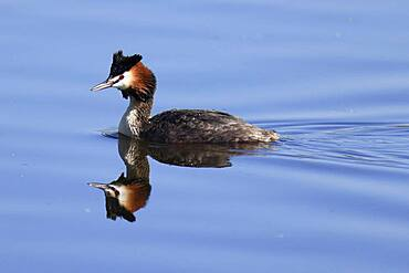 Great crested grebe (Podiceps cristatus) swimming, Germany, Europe