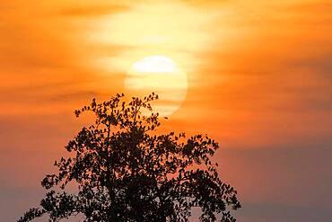 Starlings (Sturnus vulgaris), flock on black alder (Alnus glutinosa), backlight in front of setting sun, Duemmerniederung, Lower Saxony, Germany, Europe