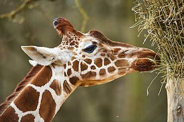 Reticulated giraffe (Giraffa camelopardalis reticulata) eating, Portrait, captive, Germany, Europe