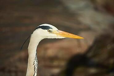 Grey heron (Ardea cinerea), portrait, Bavaria, Germany, Europe