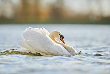 Mute swan (Cygnus olor), swimming, Donau river, Upper Palatinate, Bavaria, Germany, Europe