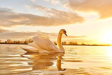 Mute swan (Cygnus olor), swimming, sunset, Donau river, Upper Palatinate, Bavaria, Germany, Europe