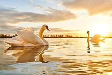 Mute swans (Cygnus olor), two, swimming, sunset, Donau river, Upper Palatinate, Bavaria, Germany, Europe