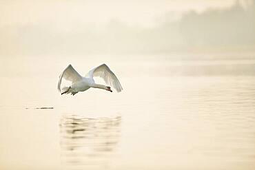 Mute swan (Cygnus olor), flying above Donau river, Upper Palatinate, Bavaria, Germany, Europe