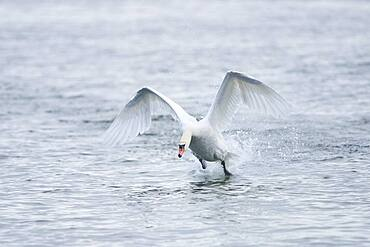 Mute swan (Cygnus olor), starting on Donau river, Upper Palatinate, Bavaria, Germany, Europe