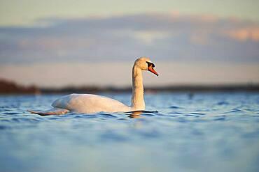 Mute swan (Cygnus olor) swimming on donau river at sunset, Bavaria, Germany, Europe